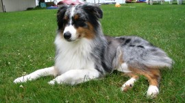 Australian Shepherd Dog Wallpaper Gallery