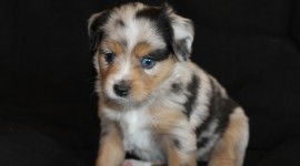 Australian Shepherd Dog Wallpaper HQ