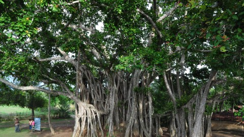 Banyan wallpapers high quality