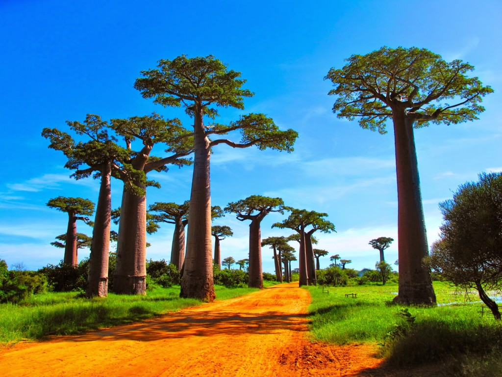 Baobabs wallpapers HD