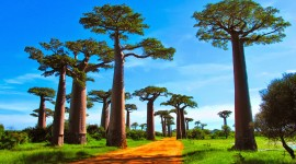 Baobabs Best Wallpaper