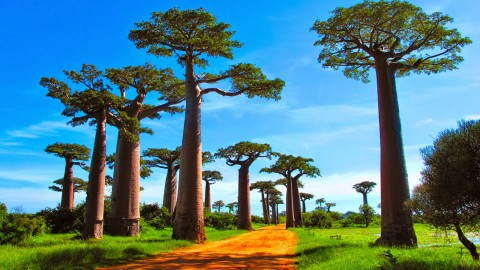 Baobabs wallpapers high quality