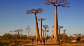 Baobabs Desktop Wallpaper