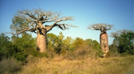 Baobabs Desktop Wallpaper For PC