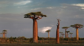 Baobabs Desktop Wallpaper HD