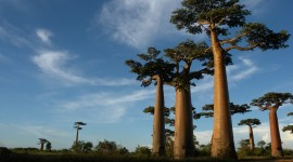 Baobabs Image
