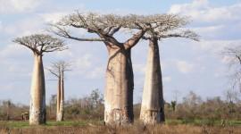 Baobabs Photo
