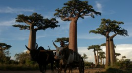 Baobabs Photo Download