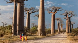 Baobabs Pics