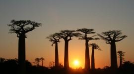 Baobabs Wallpaper 1080p