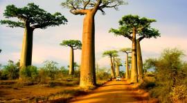 Baobabs Wallpaper