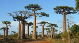 Baobabs Wallpaper Download