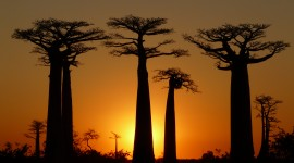 Baobabs Wallpaper For Desktop
