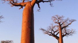 Baobabs Wallpaper For IPhone