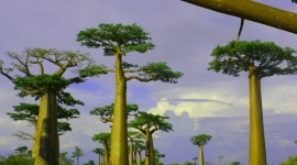 Baobabs Wallpaper For Mobile