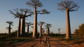 Baobabs Wallpaper Free