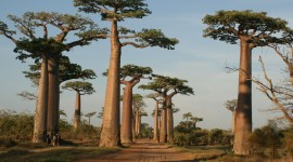 Baobabs Wallpaper Full HD