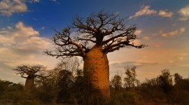 Baobabs Wallpaper Gallery