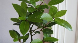 Bay Leaf Wallpaper