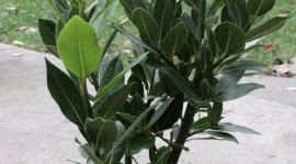 Bay Leaf Wallpaper For IPhone Download