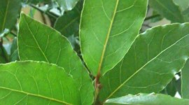 Bay Leaf Wallpaper For IPhone Free