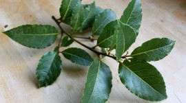 Bay Leaf Wallpaper Free