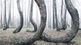 Bent Forest In Poland Photo