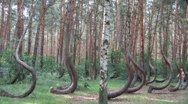 Bent Forest In Poland Photo Free