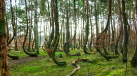 Bent Forest In Poland Photo#1
