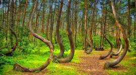 Bent Forest In Poland Wallpaper