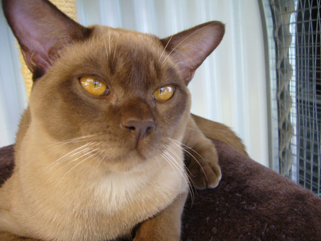 Burmese Cat wallpapers HD