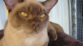 Burmese Cat Best Wallpaper