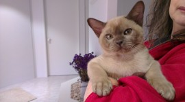 Burmese Cat Desktop Wallpaper