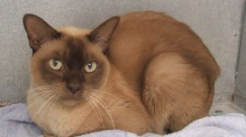 Burmese Cat Desktop Wallpaper For PC