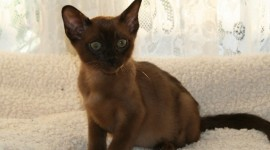 Burmese Cat Desktop Wallpaper HD