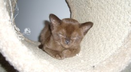 Burmese Cat Photo Free