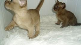 Burmese Cat Pics