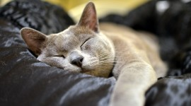 Burmese Cat Wallpaper