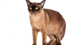 Burmese Cat Wallpaper Download Free