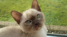 Burmese Cat Wallpaper For Desktop