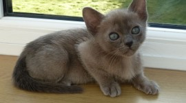 Burmese Cat Wallpaper For PC