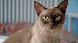 Burmese Cat Wallpaper Free
