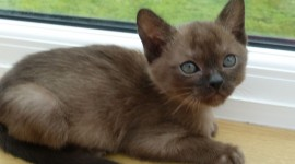 Burmese Cat Wallpaper Gallery