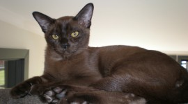 Burmese Cat Wallpaper HQ
