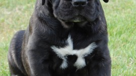 Cane Corso Wallpaper For IPhone
