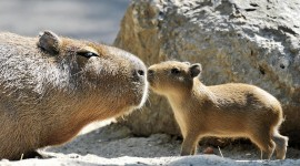 Capybara Best Wallpaper