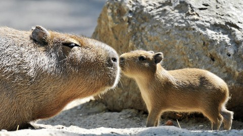 Capybara wallpapers high quality