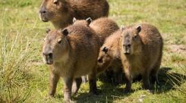 Capybara Desktop Wallpaper