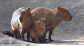Capybara Desktop Wallpaper For PC