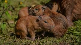 Capybara Desktop Wallpaper HD